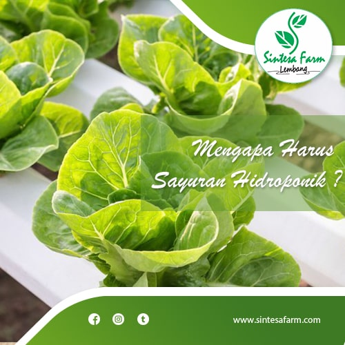 Mengapa Harus Sayuran Hidroponik ?