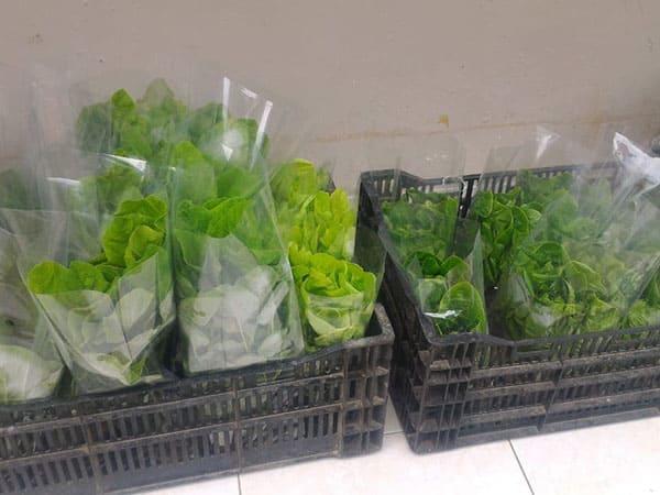 produk-selada (8)